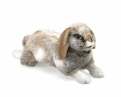 Holland Lop Eared Rabbit