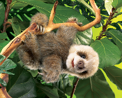 Sloth, Baby