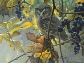 Saw-whet Owl and Wild Grapes